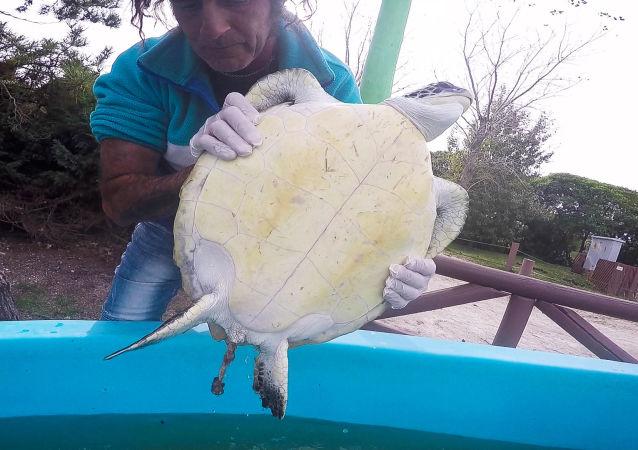 Una tortuga verde defecando basura en el centro de rescate de Mundo Marino, en Argentina