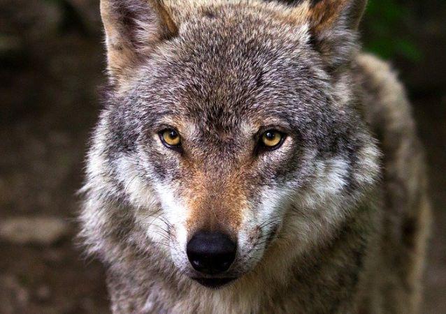 Un lobo, referencial
