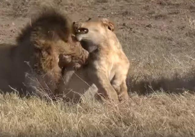 Combate de leones