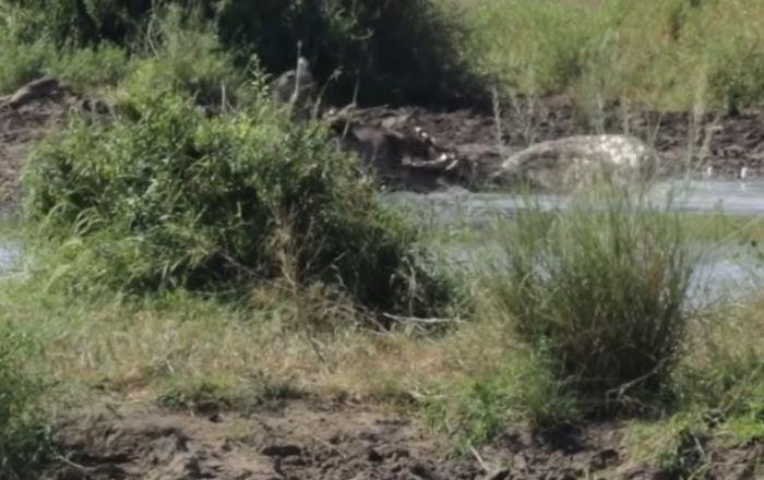 Un cocodrilo ataca a un antílope