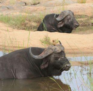 Dos búfalos