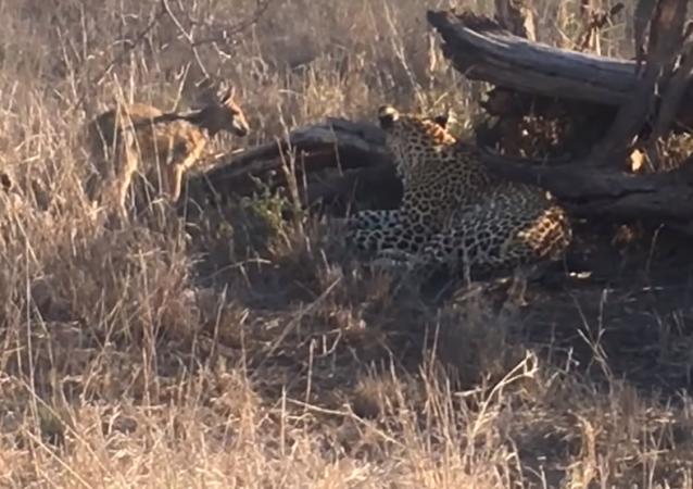 Las angustiantes imágenes de un leopardo torturando a un pequeño antílope