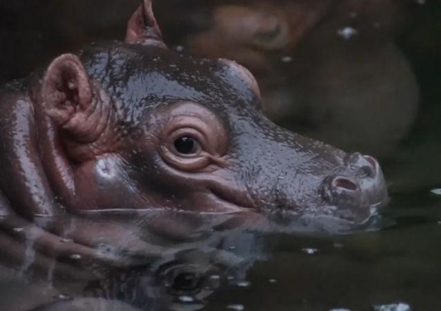 ¡Alerta de ternura! Este lindo hipopótamo bebé te robará el corazón