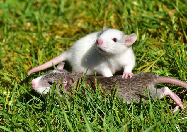 Unas ratas, referencial