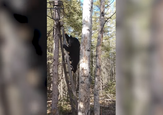 La obediencia de un oso sorprende a un cazador
