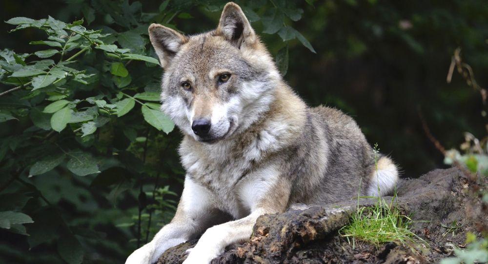 Descubren cabeza de lobo gigante en Rusia