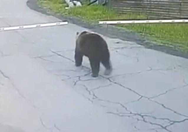 Mientras tanto en Rusia: un oso entra sin permiso en un aeropuerto de Kamchatka (vídeo)