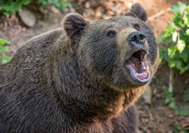 Un oso, imagen referencial