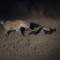 Pequeño pero matón: el animal más valiente del mundo, contra unas hienas