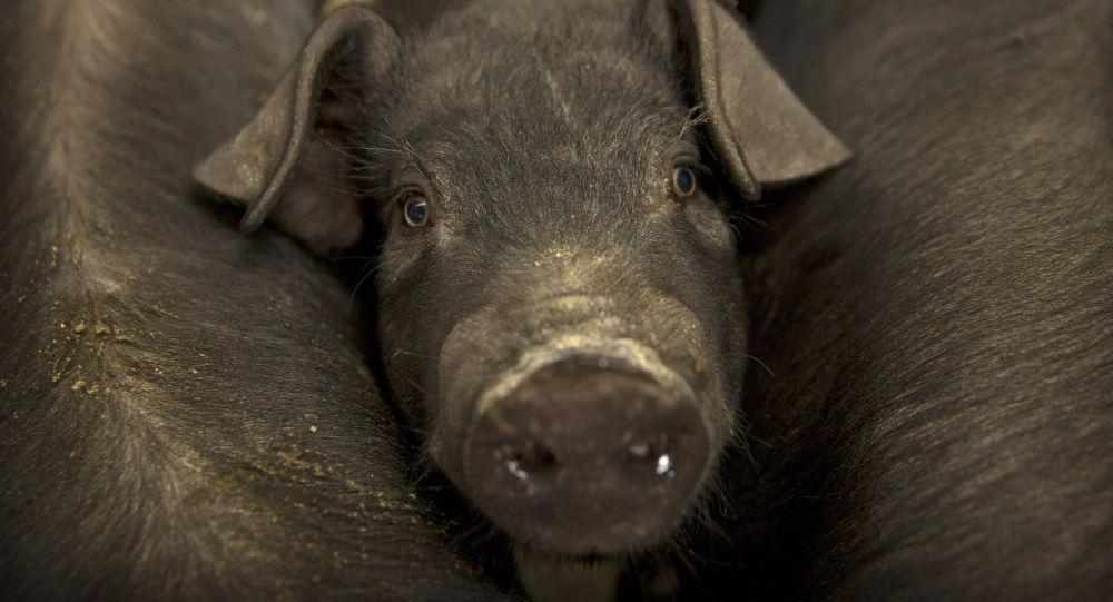 Un cerdo (imagen referencial)