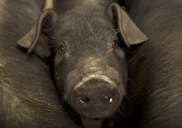 Cerdo pequeño de una granja ubicada en la villa de Jiangjiaqiao, norte de China