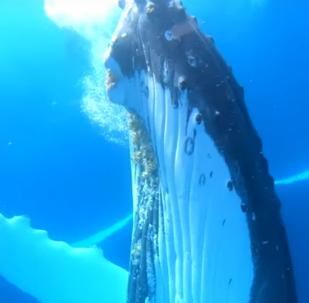 Un intrépido buzo de Rusia 'juega' con una enorme ballena en el Pacífico