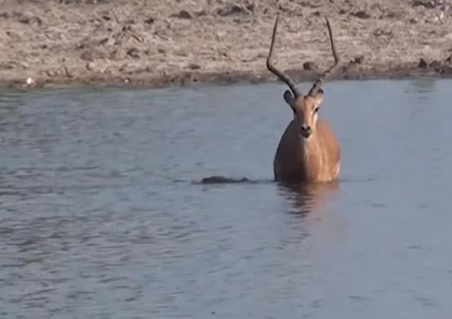 Un impala escapa de un cocodrilo y se convierte en el almuerzo de los perros salvajes