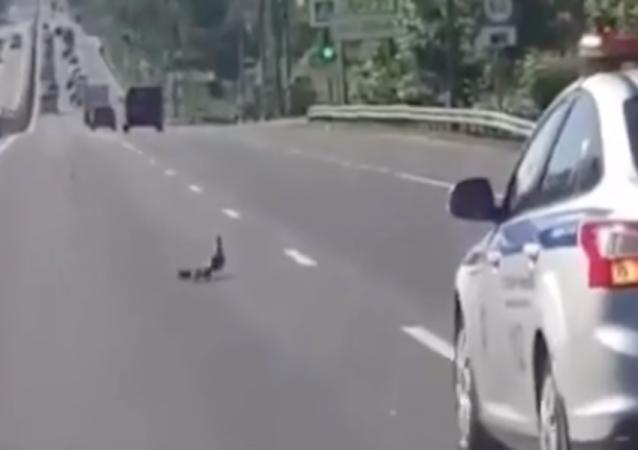 La Policía de Solnechnogorsk ayuda a una familia de patos a cruzar la calle