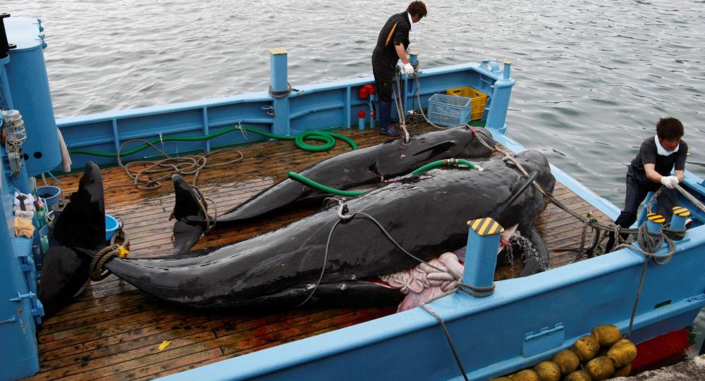 Caza de ballenas en Japón (Archivo)
