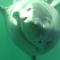 Así se ve en primera persona el mordisco de un gran tiburón blanco