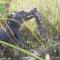 Caimán vs pitón: el combate mortal de las reptilias