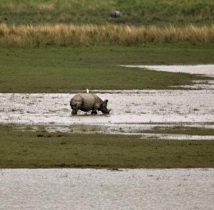 Rinoceronte en el parque nacional de Kaziranga, la India