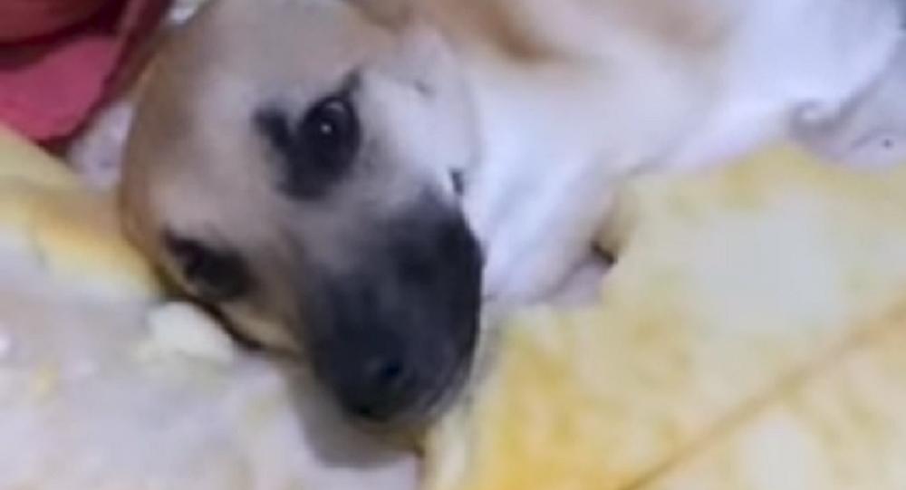 Chico, el pícaro perrito brasileño que se hizo viral en las redes