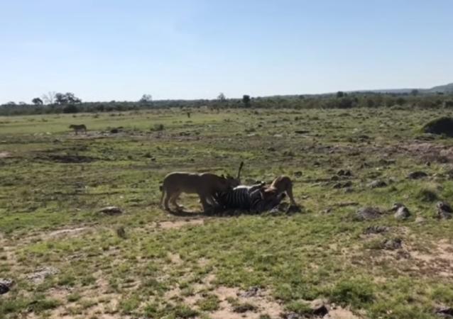 Una cebra cae en la emboscada de dos leonas