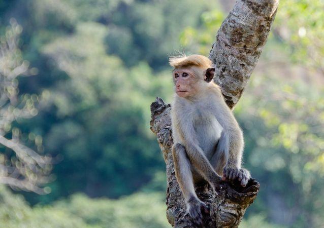 Un mono (imagen referencial)