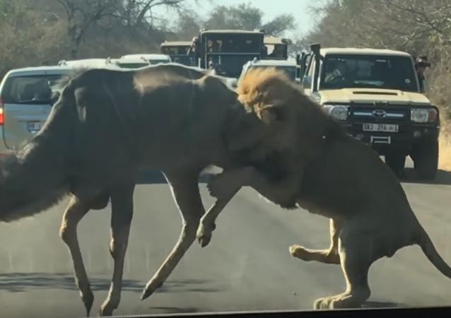Un león decide cazar un antílope en la carretera frente a una decena de autos