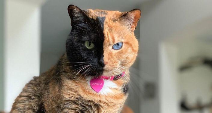 Venus, la gata de doble cara