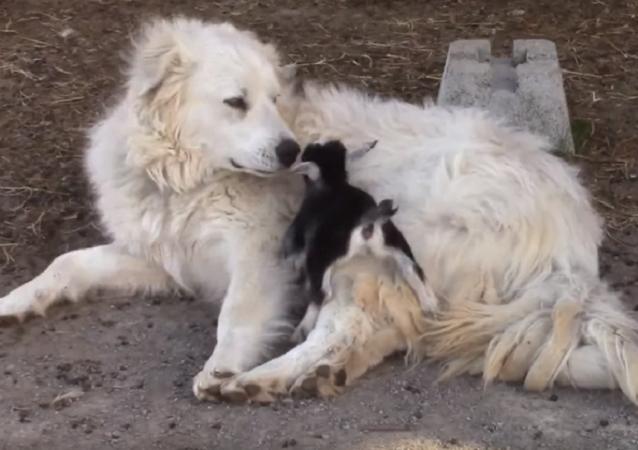 ¡Pura ternura! Un perro de montaña cuida a unos cabritos