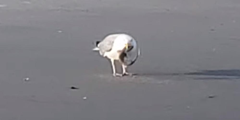 Una gaviota devora a una cría de tiburón