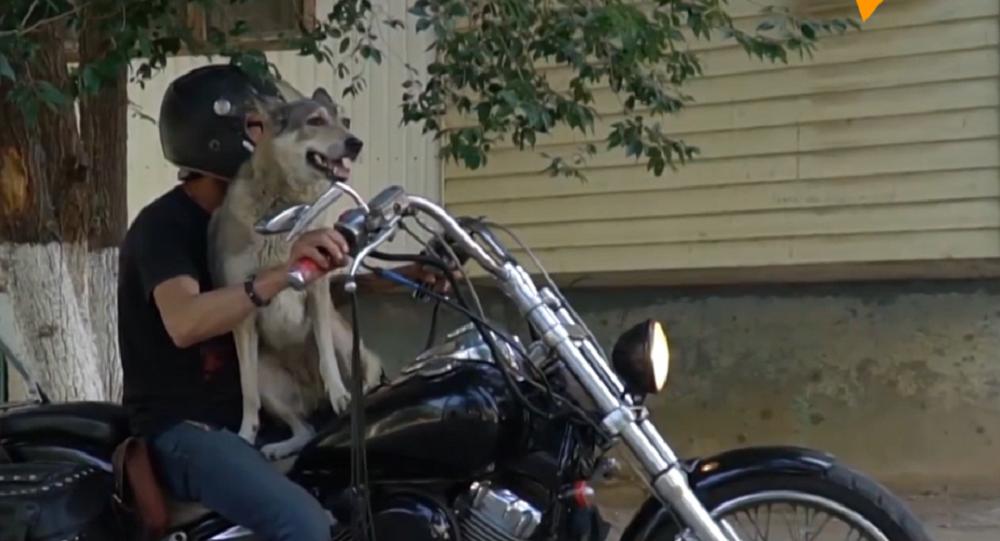 Así es Muja, la perra que se cree motociclista