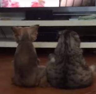 Como humanos: perro y gato ven la televisión juntos en la sala