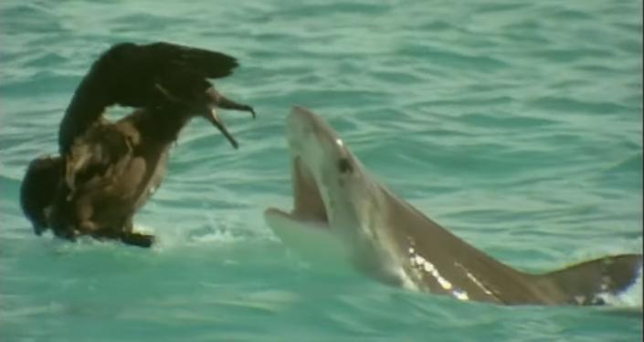 Visto y no visto: el ave más larga del mundo lucha contra un tiburón