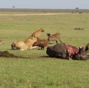 Una leona se enfrenta a unas hienas y acaba claudicando