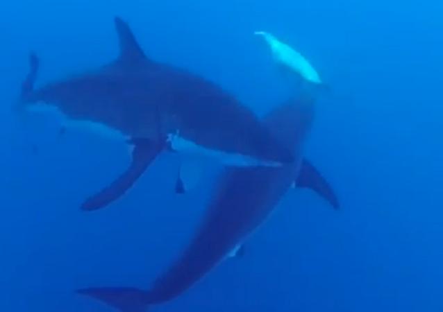 Pequeña pero valiente: una foca ahuyenta a dos tiburones blancos