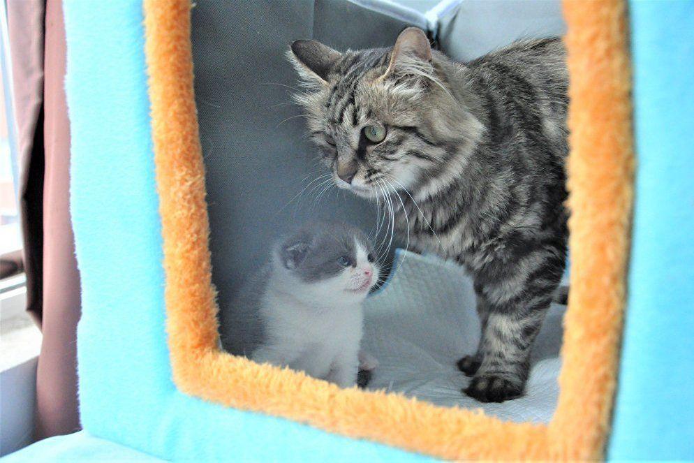 El gatito clonado Ajo con su madre adoptiva