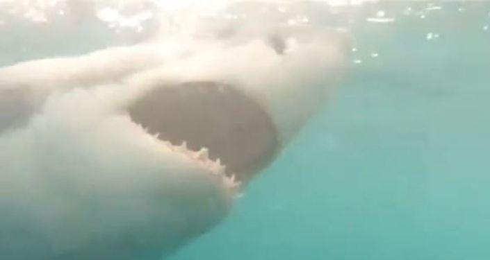 Alimentación de un gran tiburón blanco