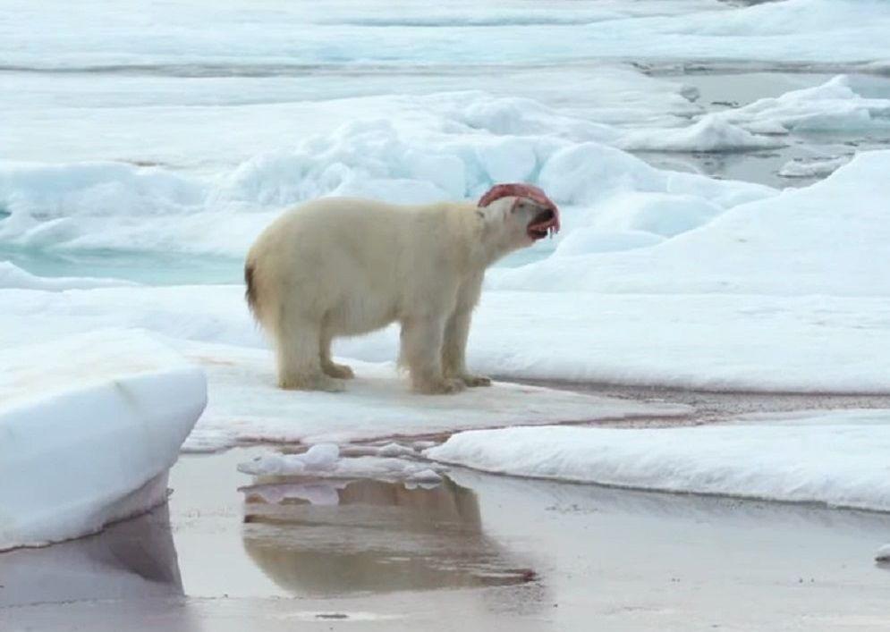 Un oso polar juega con parte de un narval