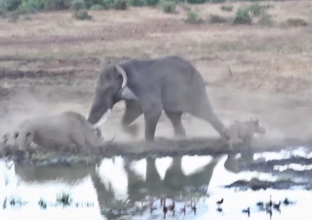 Un rinoceronte se enfrenta a un elefante africano