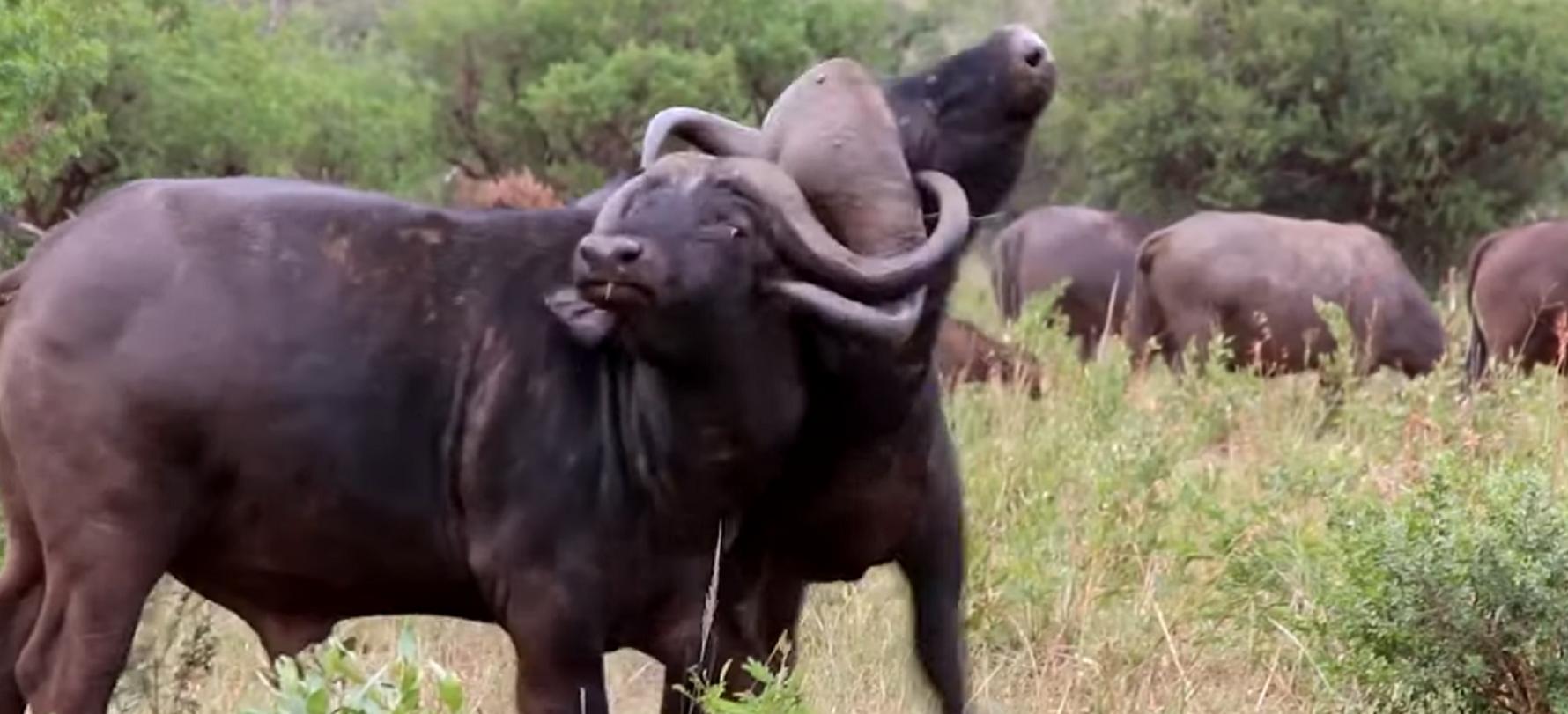 Dos enormes búfalos miden el poder de sus cuernos en Sudáfrica