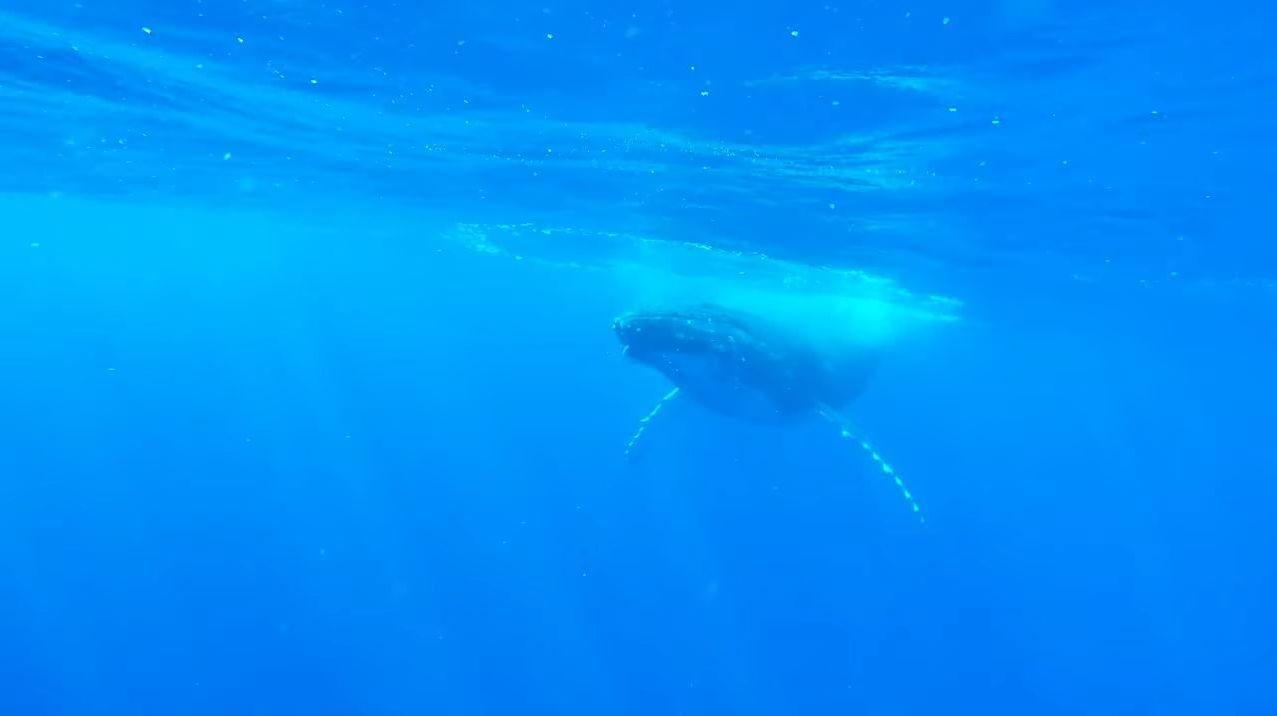 Un submarinista grabó la emersión de una pareja de ballenas jorobadas en el océano Pacífico en la Polinesia