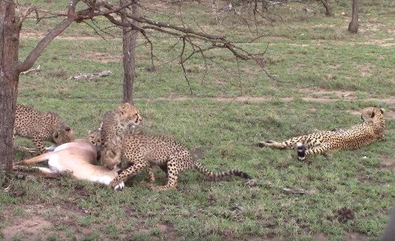 El guepardo hembra y sus crías