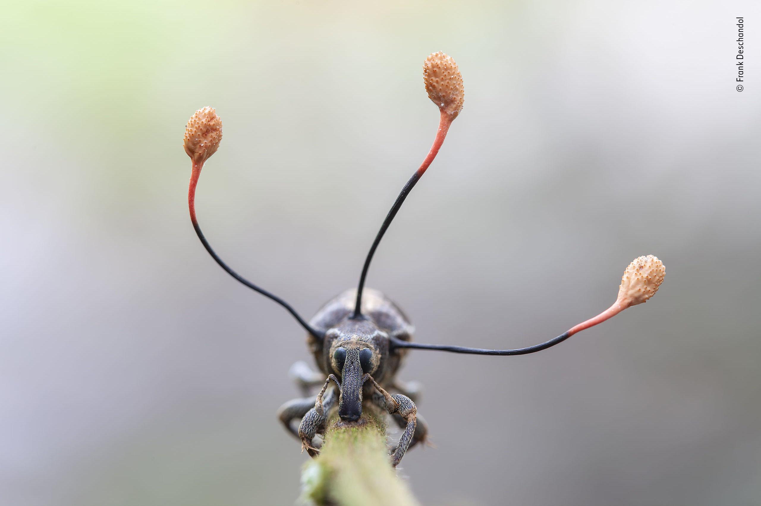 Un hongo controla a un escarabajo en Perú