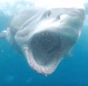 Un tiburón blanco abre las fauces a unos centímetros de la cara del buzo