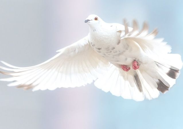 Una paloma blanca, referencial