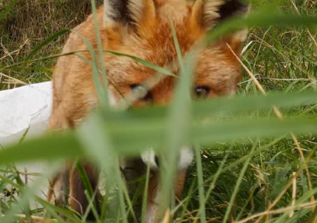Un zorro roba un teléfono oculto que lo espiaba