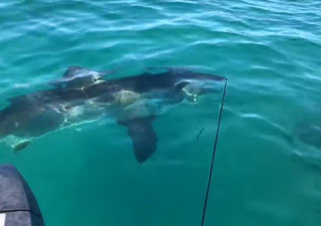 Un tiburón blanco gigante vigila a los pescadores