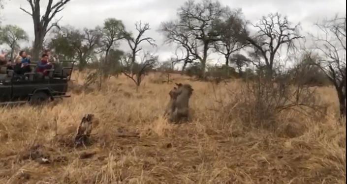 El depredador, su presa y la hiena que lo arruina todo