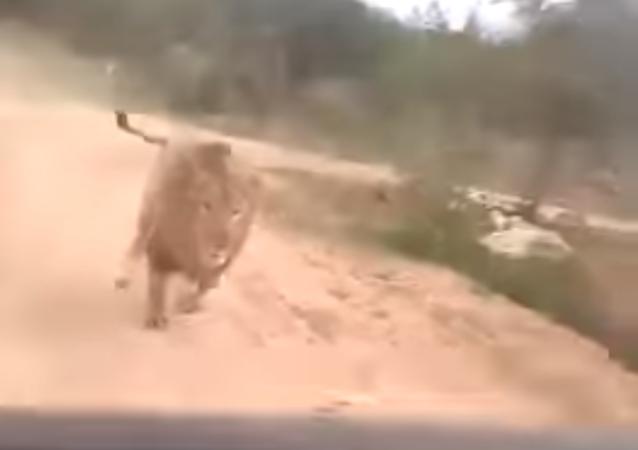 Estos turistas sacaron de sus casillas a un león y por poco no viven para contarlo