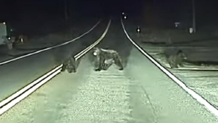 Osos en la carretera
