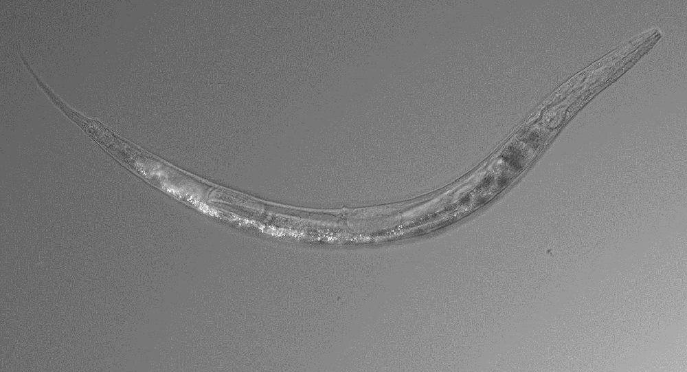 Nematodo, el gusano de tres sexos que intriga a la ciencia